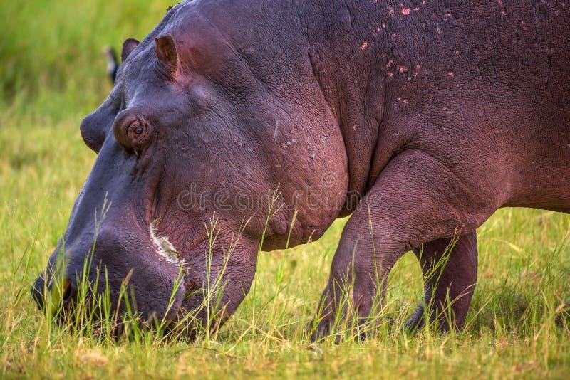 Ippopotamo che pasce nel parco nazionale di Chobe, Botswana fotografia stock libera da diritti