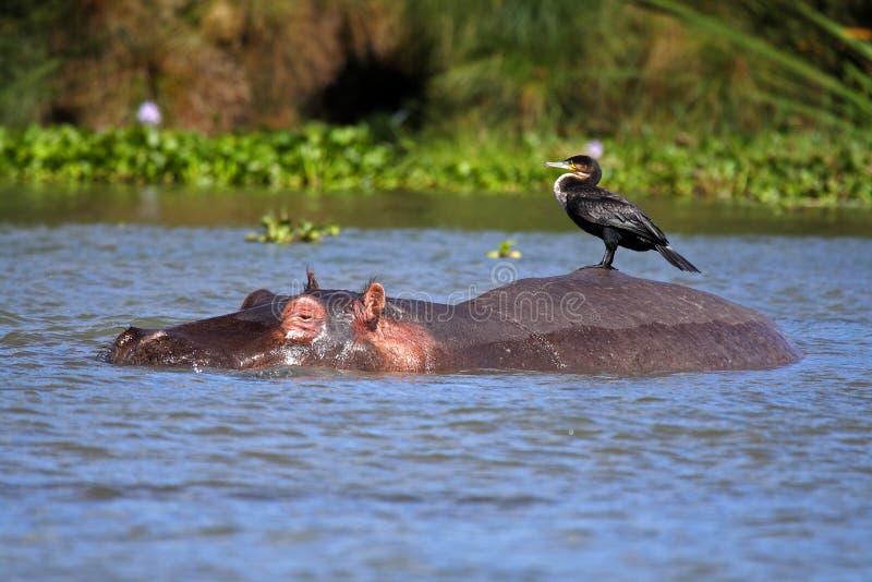 Ippopotamo con il cormorant sulla sua parte posteriore, lago Naivasha fotografie stock libere da diritti