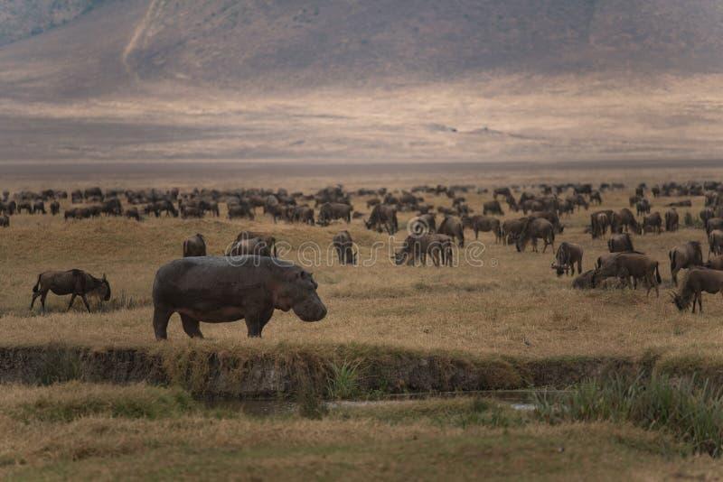 Ippopotamo e cento dello gnu che pasce nel cratere di Ngorongoro immagini stock libere da diritti