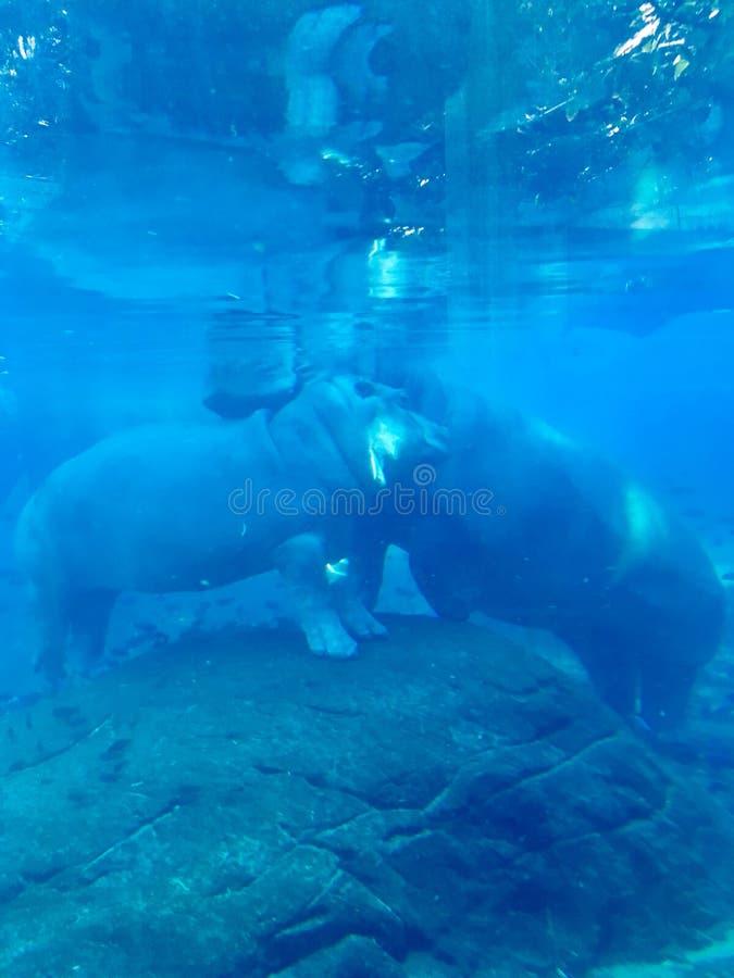 Ippopotamo e mamma del bambino subacquei fotografia stock