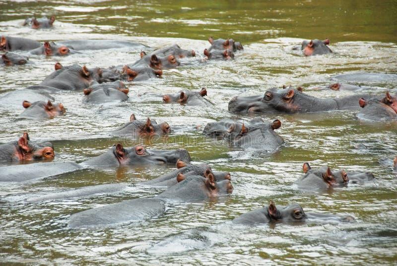 Ippopotamo, fiume di Ishasha, Uganda fotografia stock libera da diritti