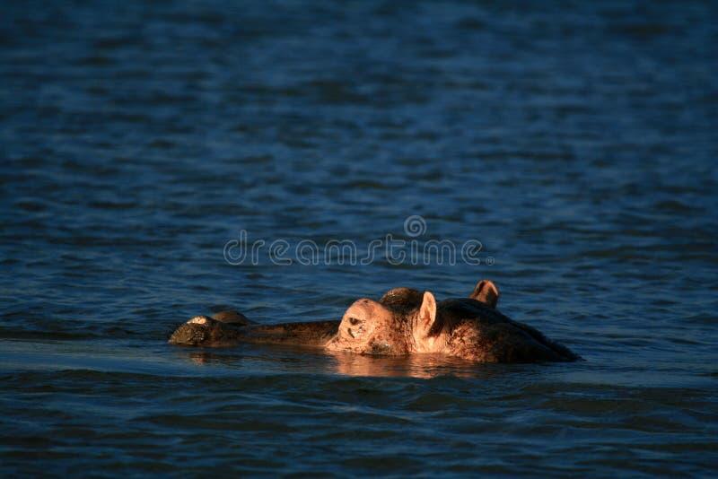 Ippopotamo - Murchison cade il NP, Uganda, Africa fotografie stock libere da diritti