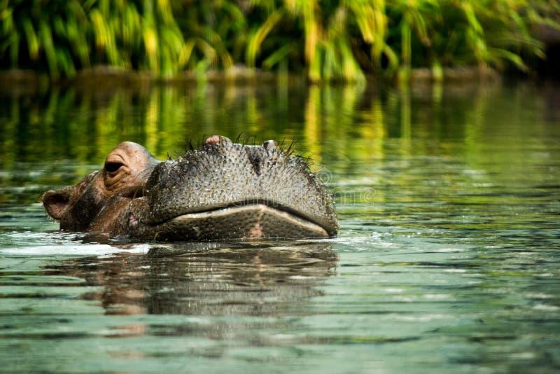 Ippopotamo nell'acqua che mostra appena la testa immagine stock