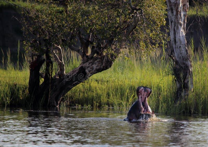 Ippopotamo nello Zimbabwe, il fiume Zambezi Hippopotamus immagine stock libera da diritti