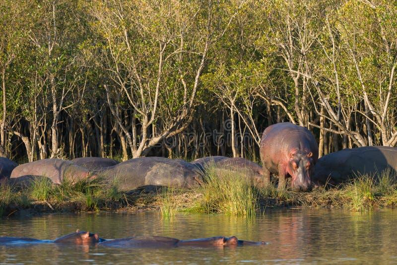Ippopotamo sulla banca del fiume al tramonto Sudafrica fotografia stock libera da diritti