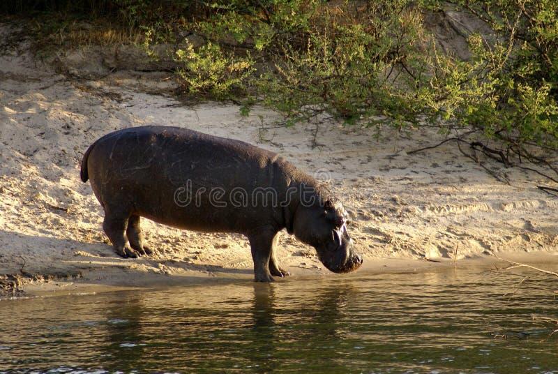 Ippopotamo sulla banca del fiume Zambezi fotografia stock