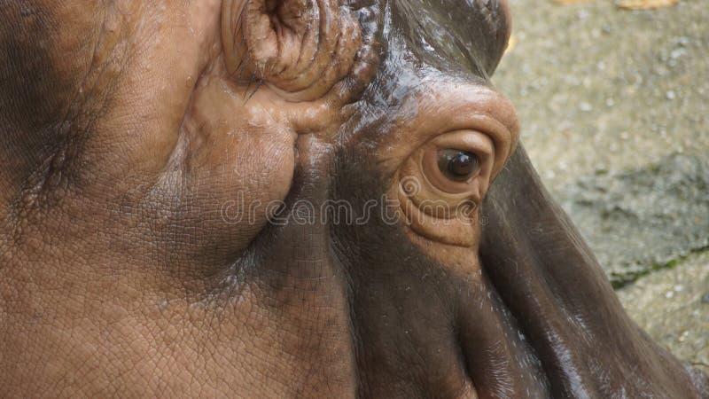 Ippopotamo in zoo nazionale della Malesia immagine stock
