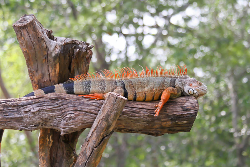 Download Iquana stock photo. Image of lizard, tongue, desolation - 20893694