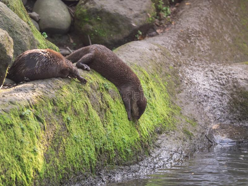 Ir cinerea pequeno-agarrado asiático bonito de Amblonyx de duas lontras saltar na água foto de stock