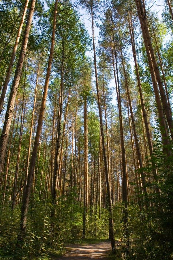 Ir de excursión el camino en bosque del pino fotos de archivo