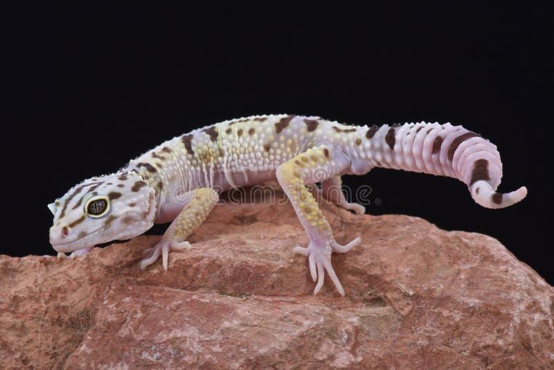 Iraanse vet van de steel verwijderde gekko (Eublepharis-angramainyu) stock fotografie
