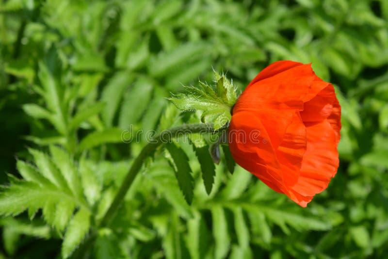 Iranian poppy. Latin name - Papaver bracteatum stock photography