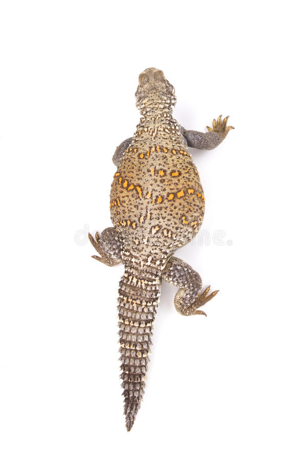 Iraqi spiny-tailed lizard (Saara loricata). Saara loricata, the Iraqi spiny-tailed lizard is a large, heavily armored, herbivorous lizard species found in the royalty free stock photo