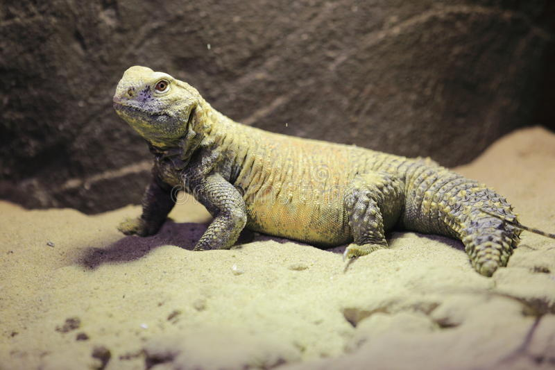 Iraqi Spiny-tailed lizard. In the sand stock images