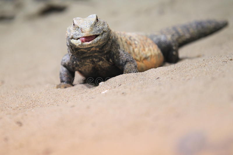 Iraqi spiny-tailed lizard. With the stuck out tongue royalty free stock images