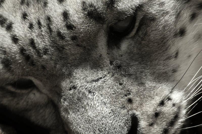 Irbis in bianco e nero del leopardo delle nevi del fronte, uncia della panthera, uncia di Uncia immagini stock libere da diritti