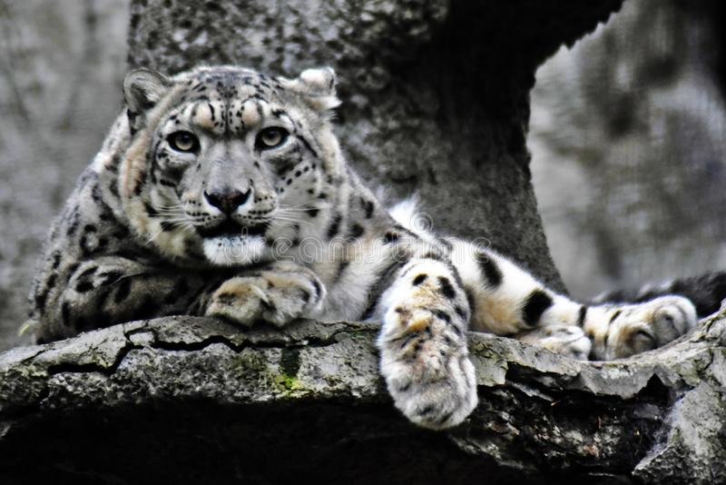 Irbis, snow leopard color photo. Grey stone background. Taken at Moscow zoo royalty free stock images