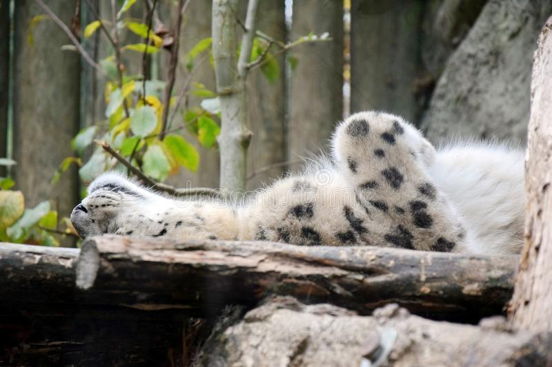 Irbis Snow Leopard Uncia Uncia Lying Resting Looking Mother Cute Stock Photo stock photos