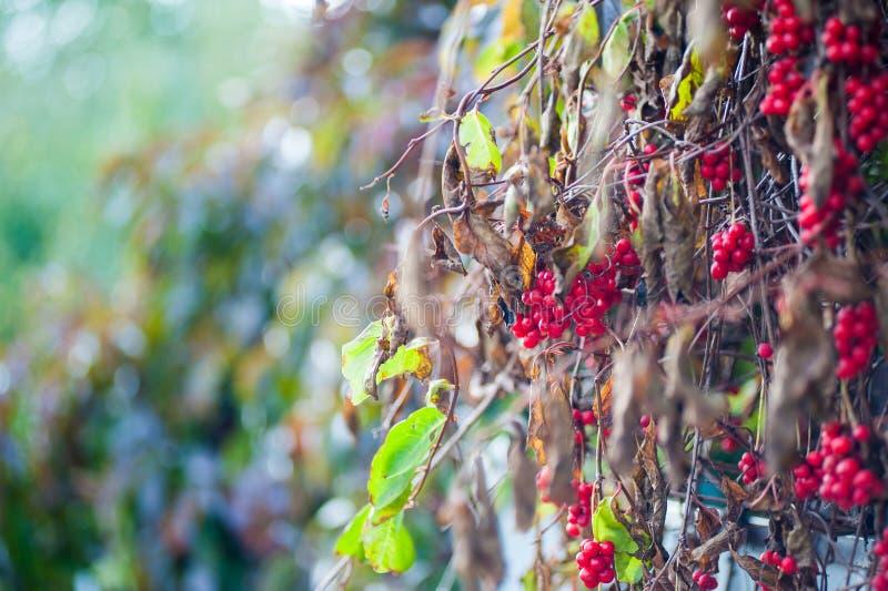 Irga krzak z udziałami czerwone jagody na gałąź, jesienny tło W górę kolorowej jesieni dzikich krzaków z czerwienią zdjęcie royalty free