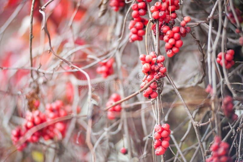 Irga krzak z udziałami czerwone jagody na gałąź, jesienny tło W górę kolorowej jesieni dzikich krzaków z czerwienią fotografia royalty free