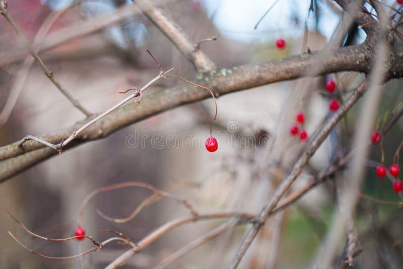 Irga krzak z udziałami czerwone jagody na gałąź, jesienny tło W górę kolorowej jesieni dzikich krzaków z czerwienią zdjęcia stock