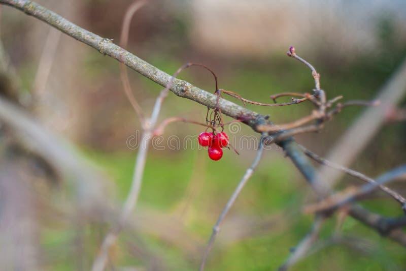 Irga krzak z udziałami czerwone jagody na gałąź, jesienny tło W górę kolorowej jesieni dzikich krzaków z czerwienią obraz stock
