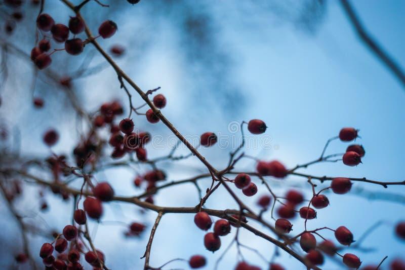 Irga krzak z udziałami czerwone jagody na gałąź, jesienny tło W górę kolorowej jesieni dzikich krzaków z czerwienią obrazy royalty free