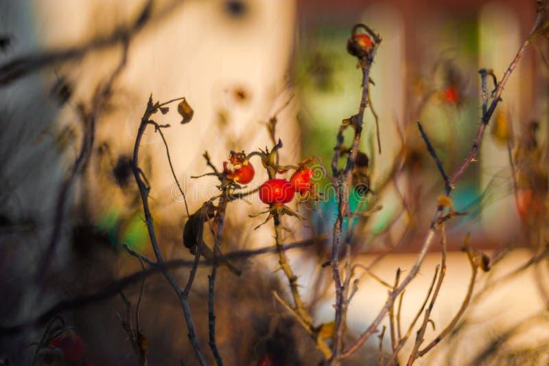 Irga krzak z udziałami czerwone jagody na gałąź, jesienny tło W górę kolorowej jesieni dzikich krzaków z czerwienią obrazy stock