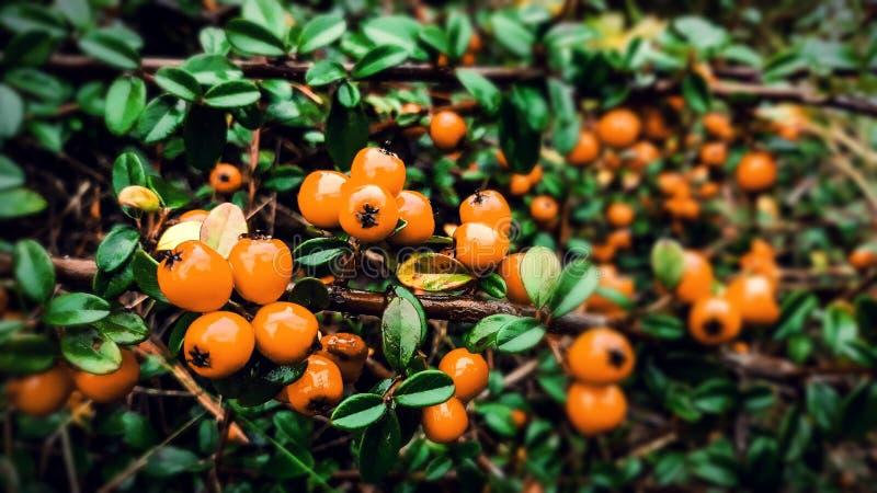 Irga, pomarańczowe owoc fotografia royalty free
