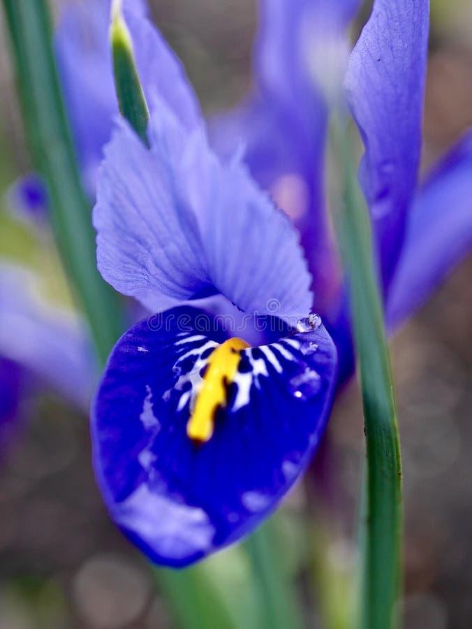 Iride blu fotografie stock libere da diritti