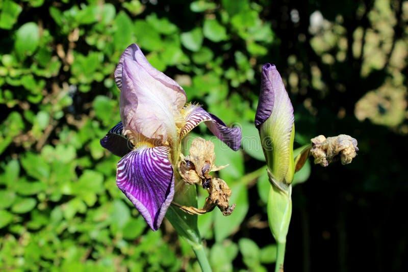 Iride che fiorisce pianta perenne con bianco vistoso ai fiori chiusi viola scuri con i petali asciutti parzialmente avvizziti cir immagine stock
