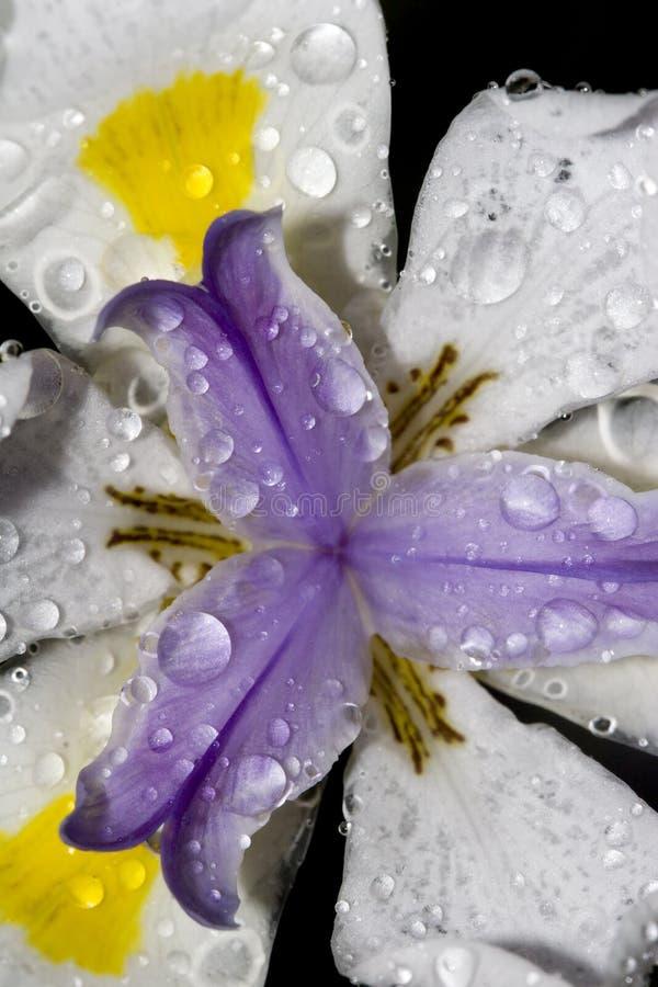 iride dell'Africano del fiore del primo piano immagine stock