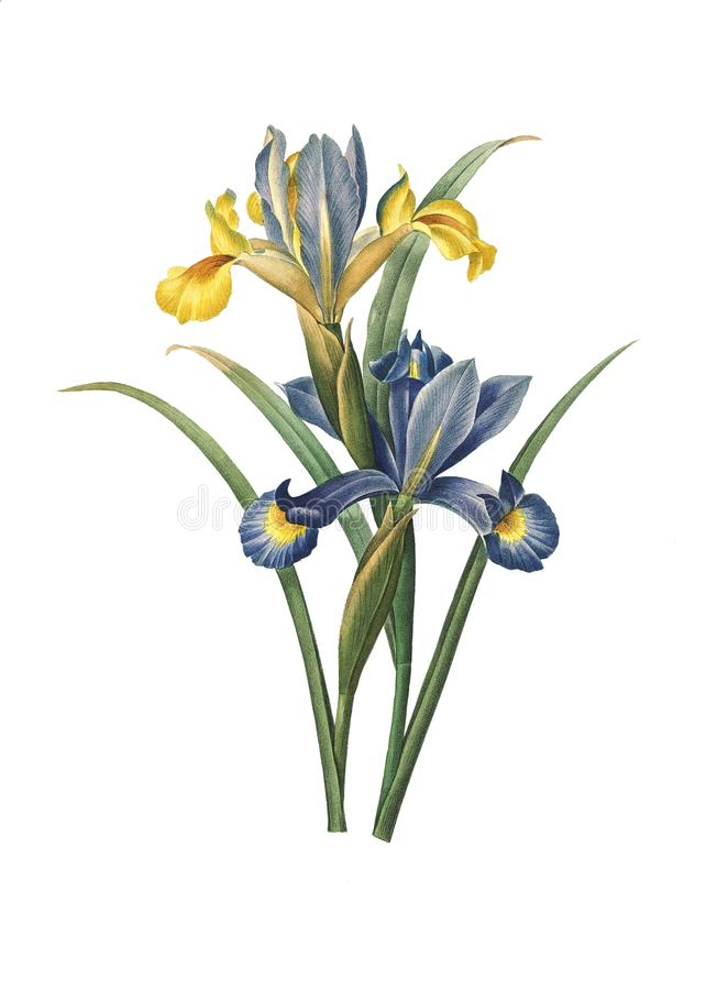 Iride spagnola | Illustrazioni del fiore di Redoute royalty illustrazione gratis