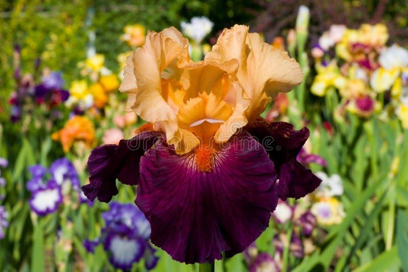 Iride sulla priorità bassa del giardino fotografie stock
