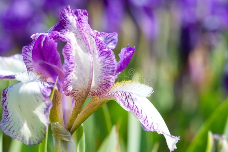 iride vicina del fiore in su fotografia stock libera da diritti