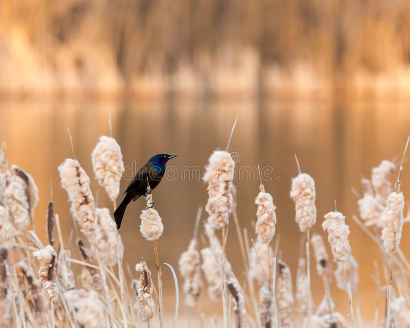 Iridescent Common Grackle royalty free stock image