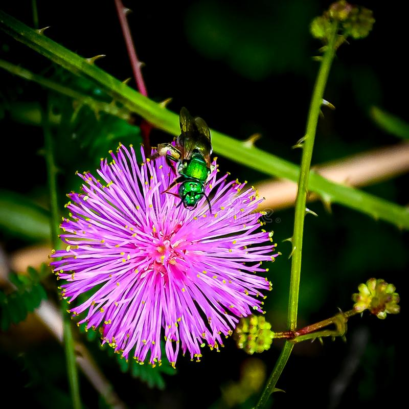 Iridescent Green Bee on a Purple Thistle Flower stock images
