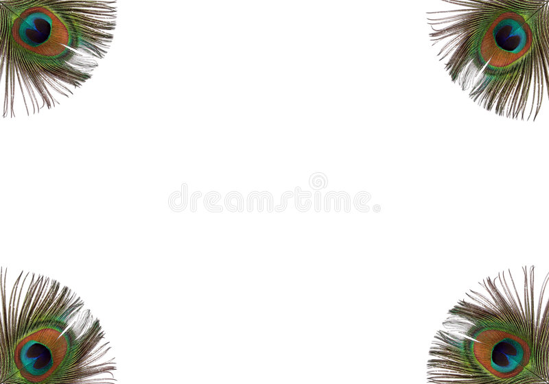 Iridescent Peacock Feathers stock photography