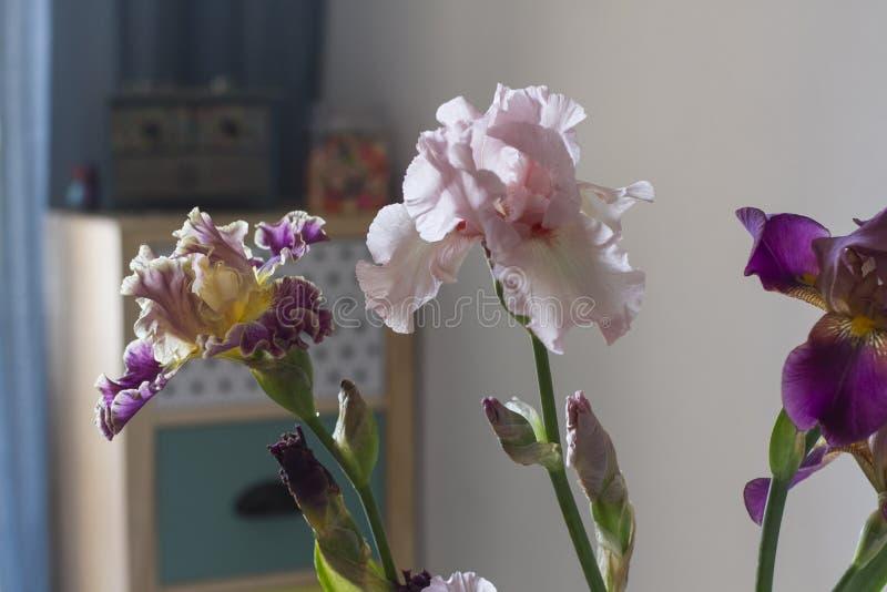 Iridi dei fiori nell'interno domestico dell'appartamento immagine stock
