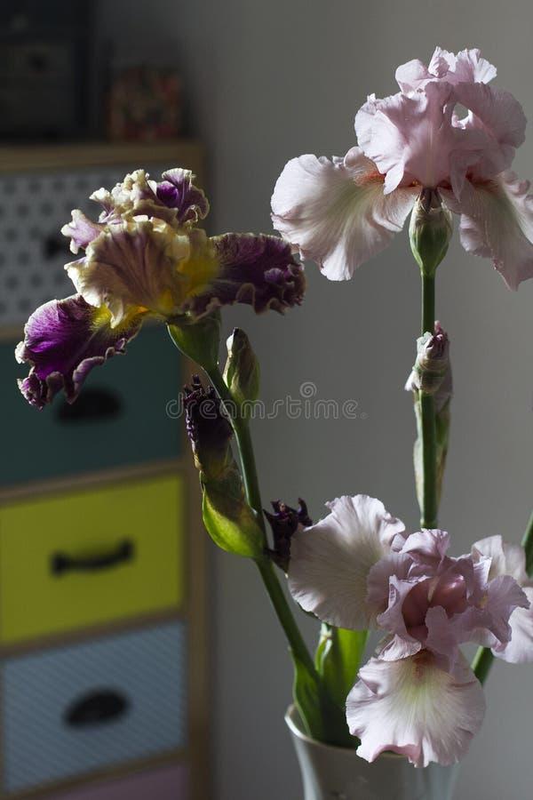 Iridi dei fiori nell'interno domestico dell'appartamento fotografia stock libera da diritti