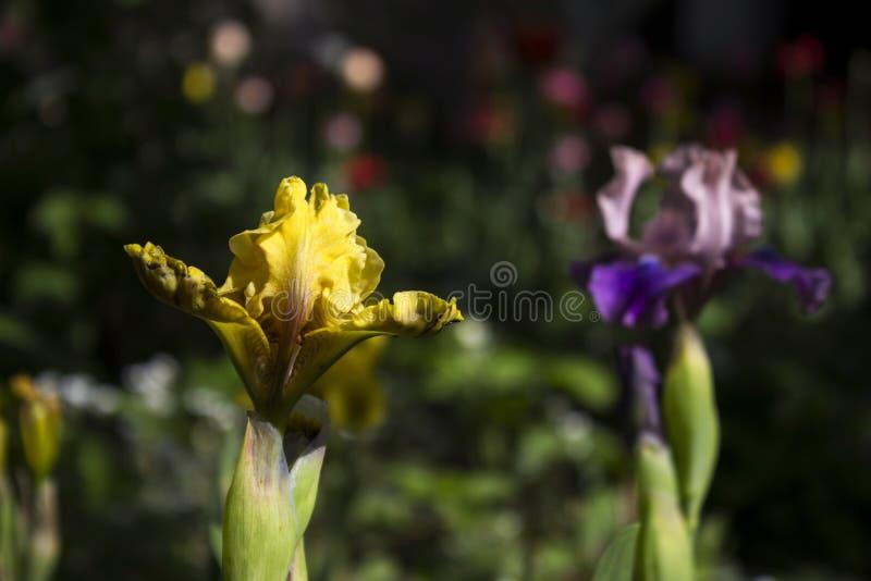 Iridi gialle e porpora - la molla luminosa fiorisce nel giardino fotografia stock libera da diritti
