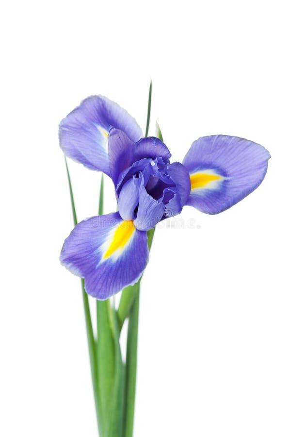 Iridi il fiore isolato su fondo bianco, bella pianta della molla immagini stock libere da diritti