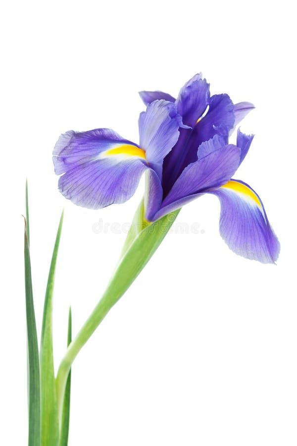 Iridi il fiore isolato sulla pianta bianca e bella della molla immagine stock libera da diritti