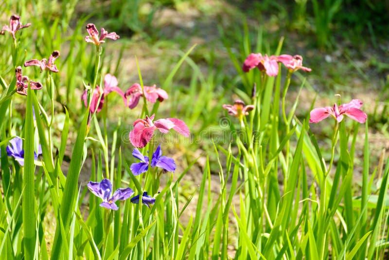 Iridi rosa, porpora e blu fotografie stock