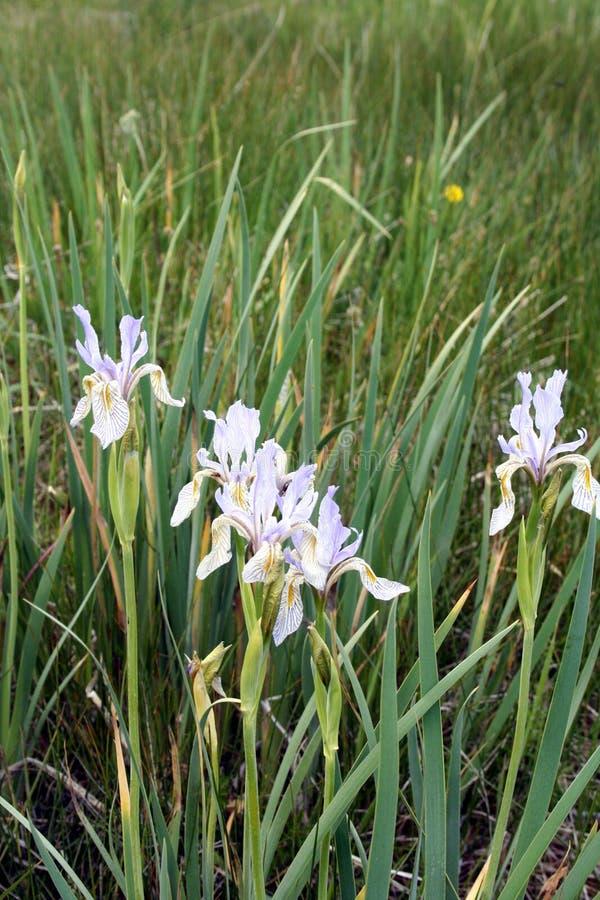 Iridi selvagge sulla prateria del Wyoming fotografia stock libera da diritti