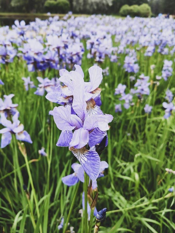 Iridi un fiore la fine viola blu-chiaro sulla crescita in un giardino verticalmente immagine stock