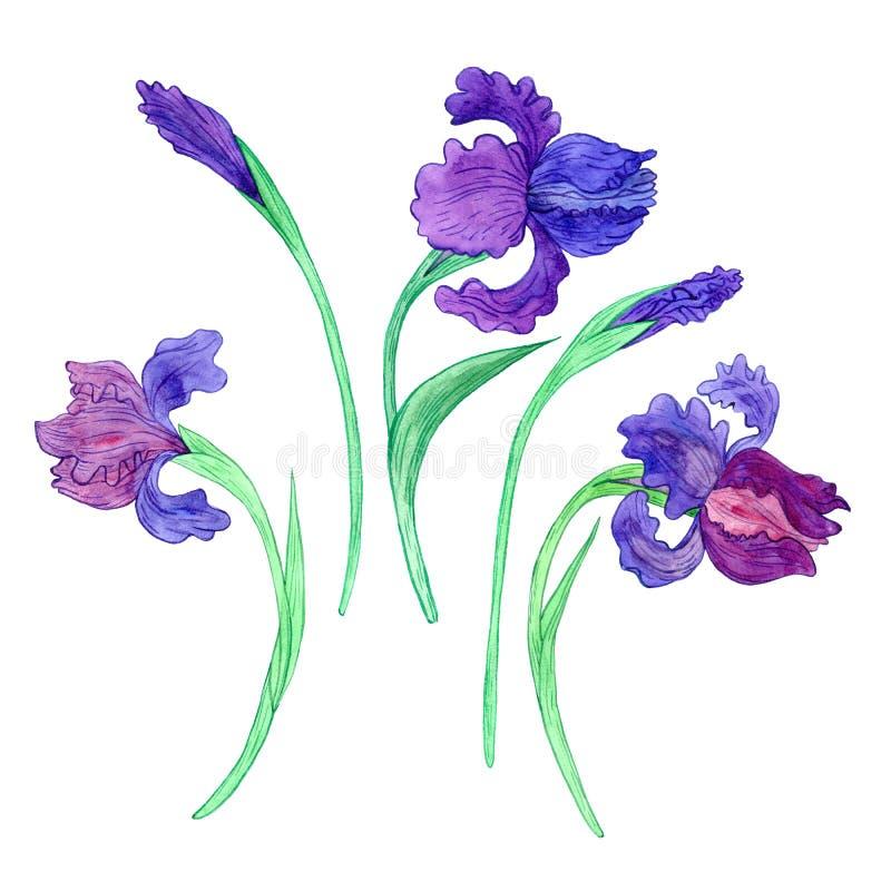 Iriers för Watercoolor teckningsblått vektor illustrationer