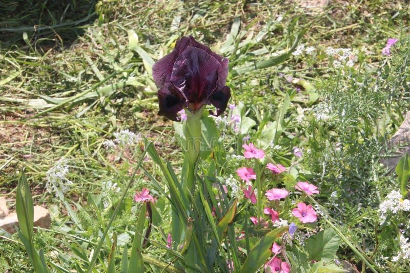 Iries svarta härliga blommor i Israel Mount Gilboa Carmel royaltyfri fotografi