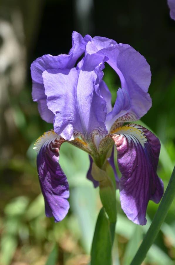 Irins blommar i trädgården arkivfoto