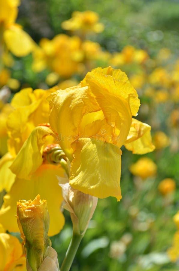 Irins blommar i trädgården royaltyfri foto
